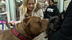 175-Pound Pit Bull Hulks Big NYC Adventure