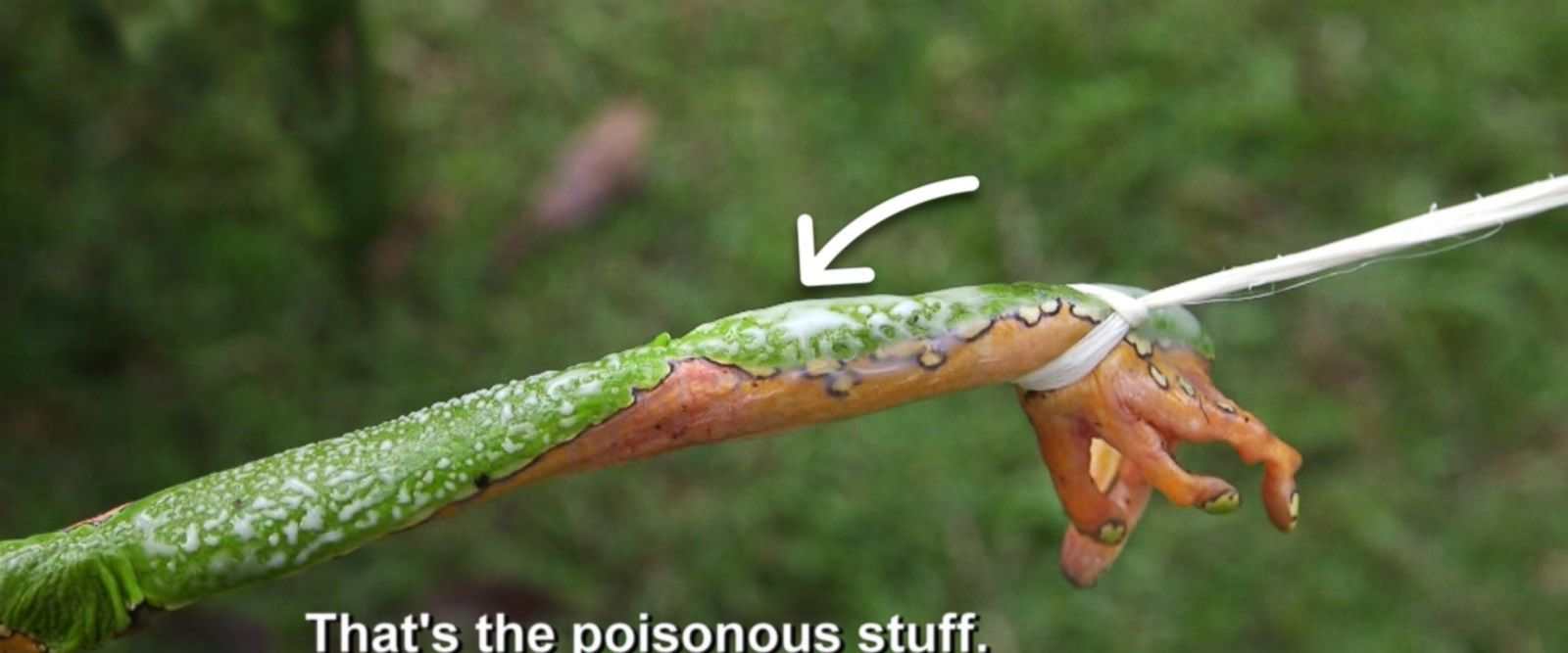 VIDEO: This elusive Amazon tree frog's venom is said to have miraculous healing powers