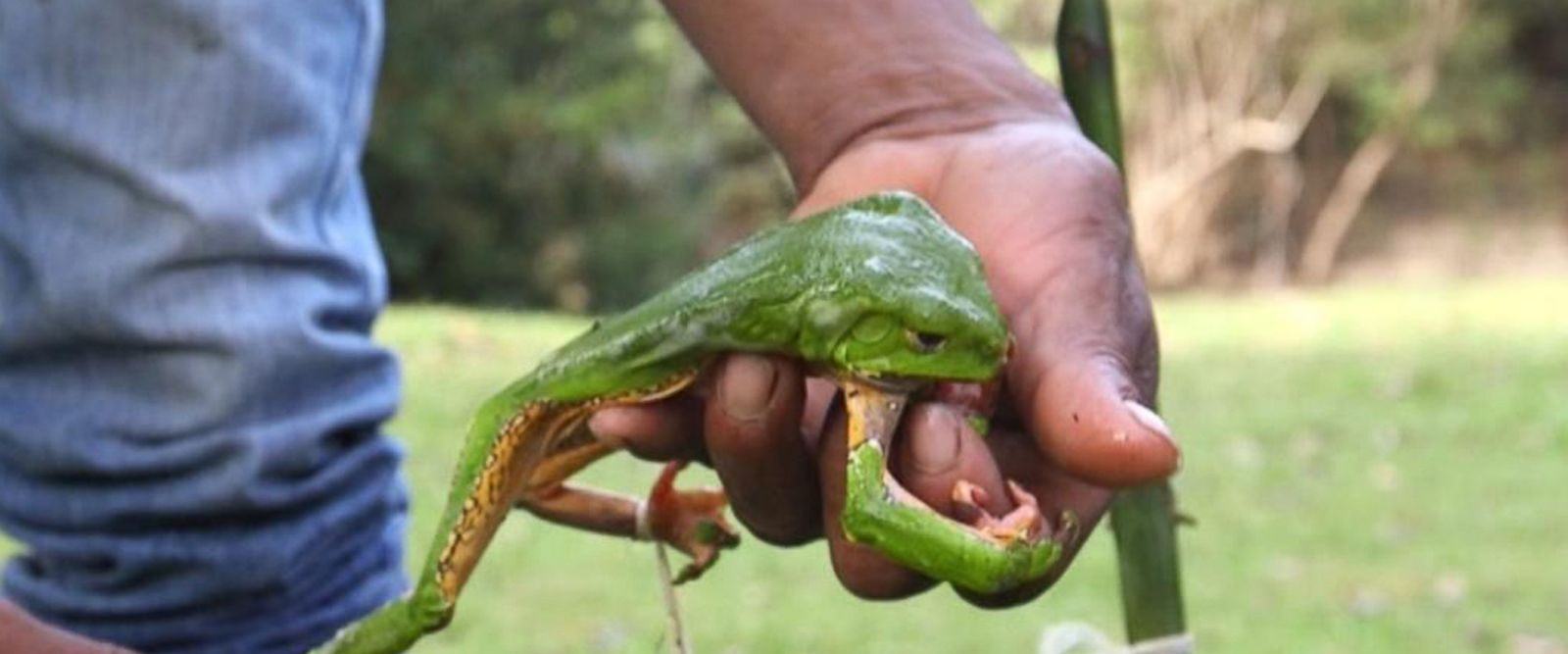 VIDEO: This Amazonian frog's toxins have become part of latest cleansing trend