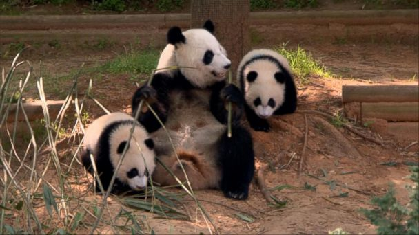 VIDEO:  DisneyNature's new movie give intimate look at China's incredible creatures