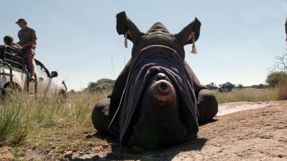 Saving rhinos  is 'risky' business in South  Africa