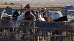 VIDEO: Wild horses rounded up by helicopter in program sparking controversy