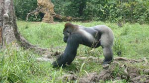 In the Jungle With the Gorilla Whisperer