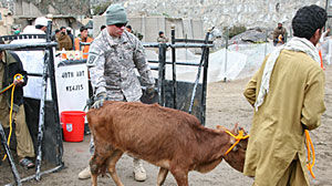 Photo: U.S. Troops Provide Vet Services in Afghanistan: Goats, Cows, Sheep -- and One Monkey -- Among Hundreds of Animals Treated