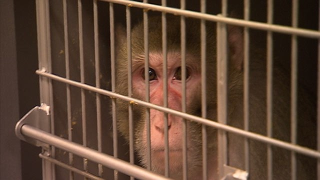 PHOTO: A monkey is seen inside a cage at the Oregon National Primate Center in Portland, Ore.