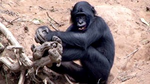 Bonobos are thought of as possibly the only animals who resolve their conflicts not through violence, but through sex.
