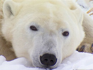 Watch: 'Ice Bear' Sets Out on His Own