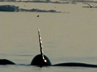Watch: Tracking Elusive Narwhals in the Arctic