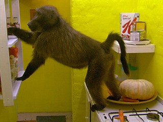 Watch: 'Big Baboon House': Monkey's 'Real World'