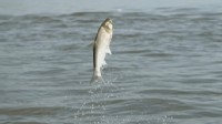 Beware: Asian Carp Invasion