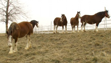Exclusive look inside Anheuser-Busch's iconic horse breeding operation.