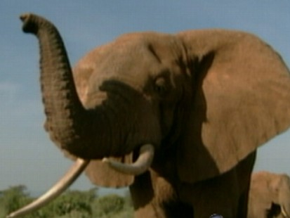 Elephants: The African Gentle Giants