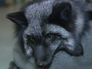 Watch: Wild Foxes as House Pets?