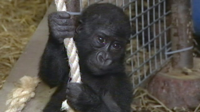 No Smiling at Baby Gorillas