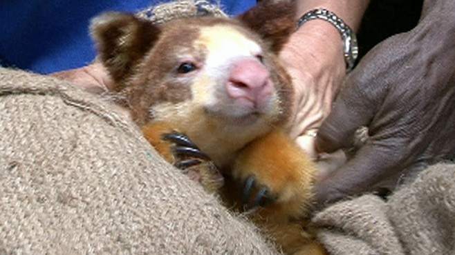 Into The Wild: The Elusive Tree Kangaroo