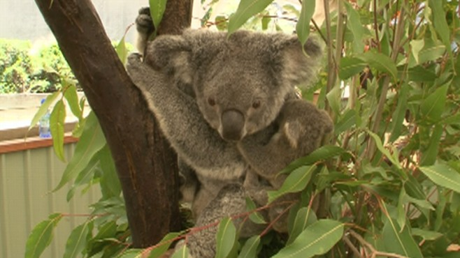 Into the Wild: Koalas
