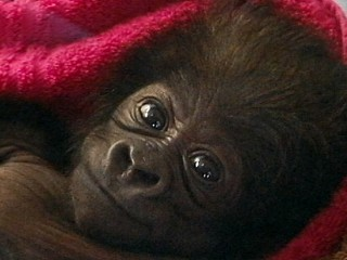 Watch: Cute Baby Gorilla Raised by Human Moms at Cincinnati Zoo