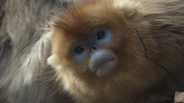 Tracking Chinas Rare Golden Snub-Nose Monkey