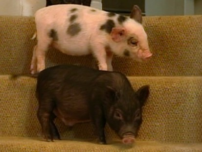 MicroPigs Are Latest Tiny Trendy Pets ABC News - Adorable pig whos grown up with dogs believes shes a puppy too