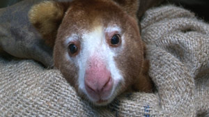 Tree Kangaroos: Meet These Never-Before-Seen Creatures in the Wild