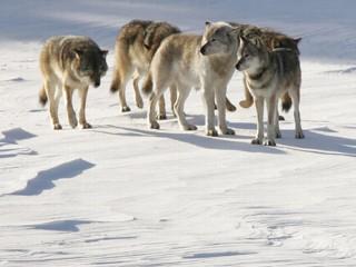 Gray Wolf Packs | RM.