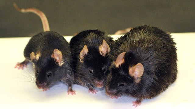 PHOTO: Image of three 24 month old mice: (left) standard diet; (center) high calorie diet + SRT1720; (right) high calorie diet