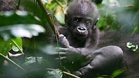 Photo: Mysterious Gorillas Roam Congo's Lowlands: Researcher Observes Group Dynamics, Family Structure of Silverbacks in Lush Habitat