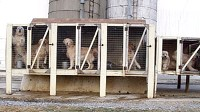 Amish Puppy Mill