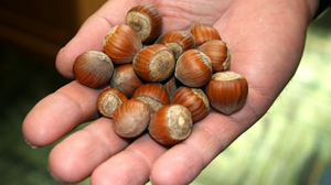 PHOTO The U.S. currently produces only about five percent of the world?s hazelnuts.