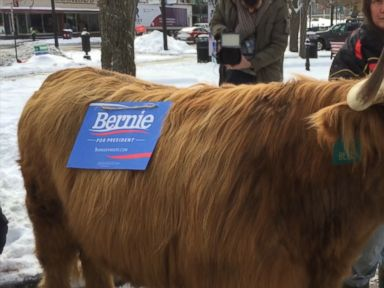 Watch:  This Farm Animal Is Pushing for Bernie Sanders, Owner Says