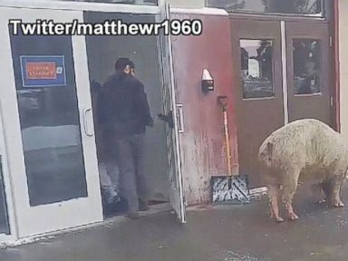 Watch:  Massive Pig Corralled at New Hampshire Polling Station