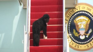 Video: Bo Obama boards Air Force One for Presidents birthday.