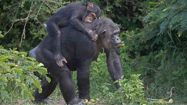 GTY chimps sr 131029 16x9 608 Why Congress Wont Let 60 Chimps Retire