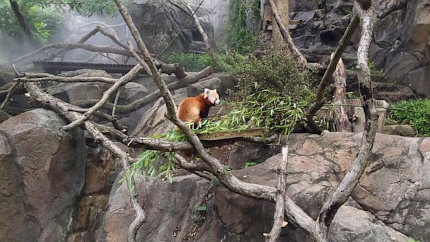HT rusty red panda nt 130709 16x9 608 Red Panda Escapee Back at Bamboo Less National Zoo