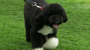 The White House officially unveils the new first pup, a Portugese water dog named Bo.
