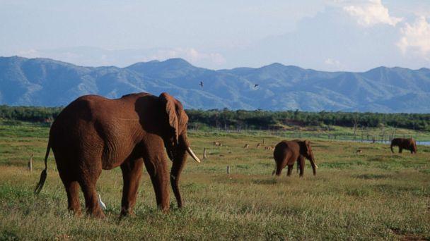 http://a.abcnews.com/images/Politics/african-elephants-gty-hb-171115_16x9_608.jpg