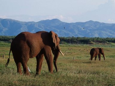 Does hunting elephants help conserve the species?