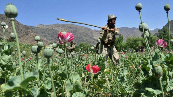 http://a.abcnews.com/images/Politics/gty_afghanistan_poppy_field_jc_141021_16x9_608.jpg
