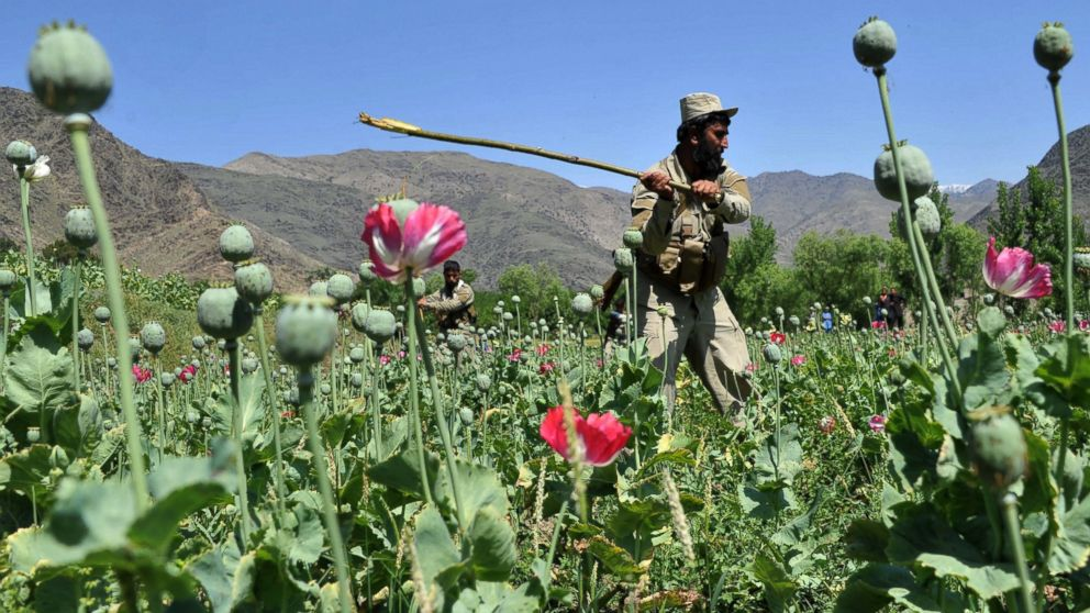 PHOTO: An Afghan security force member destroys an illegal poppy crop in the Noor Gal district of eastern Kunar province of Afghanistan on April 29, 2014.