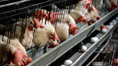 PHOTO: A chicken coop is seen in this file photo.