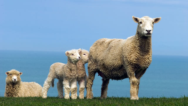 PHOTO: The sheep breed Romney.