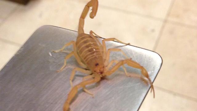 PHOTO: Scorpion