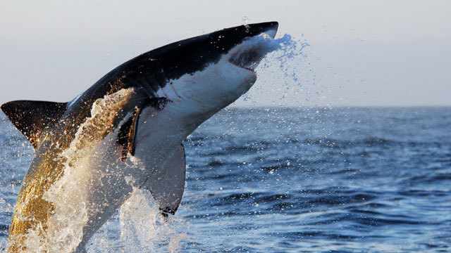 PHOTO: Great White Shark