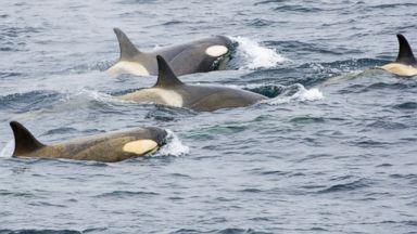 PHOTO: Orcas in the South Shetland Islands, Antarctic Peninsula.