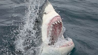 PHOTO: A great white shark is pictured in this stock image.