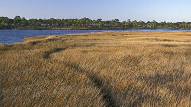 PHOTO: Coastal marsh along Apalachicola Bay, Barrier island, St George island State Park, Florida.