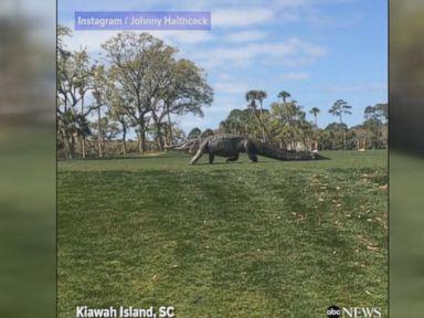 WATCH:  Giant alligator walks through golf tournament