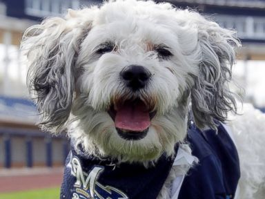 Photos: The Brewers Baseball Team Has a New Furry Friend