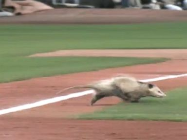 Opossum's Adventure Halts Minor League Baseball Game