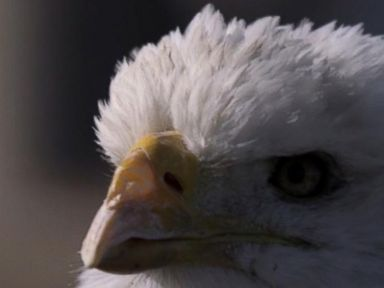 WATCH:  Eagles Fly Safely Near Wind Turbines Thanks to Radar